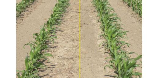 corn_stand_establish_2new