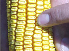 Corn ear from high yield environment
