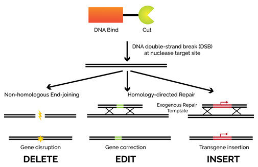 CRISPR-Cas facilitated DNA repair.