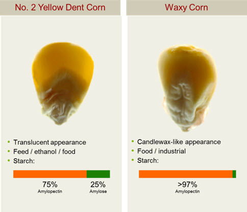 Waxy corn is enriched in amylopectin giving it properties desired in the food, paper-making, textile, corrugating, and adhesive industries.