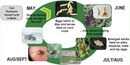 Corn Rootworm Annual Life Cycle