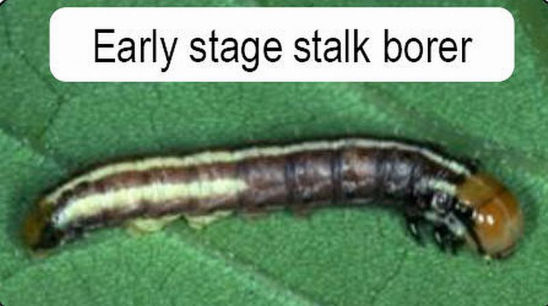Early stage stalk borer