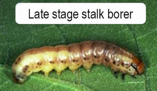 Late stage stalk borer