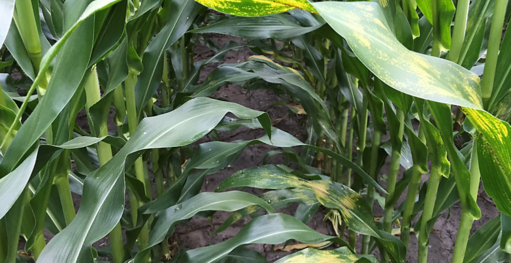 Closeup of corn leaves - canopy - some damage