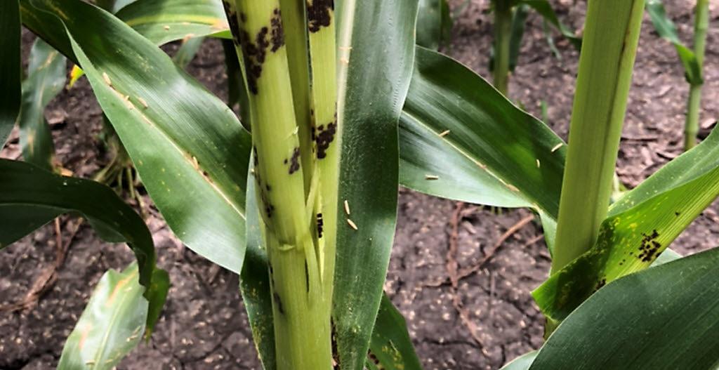Closeup - corn stalk damage