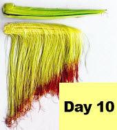 Corn ear - day 10 pollination.