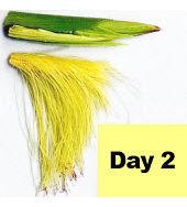 Corn ear - day 2 pollination.