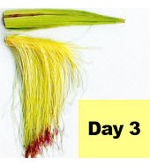 Corn ear - day 3 pollination.