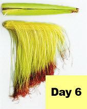 Corn ear - day 6 pollination.