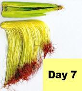 Corn ear - day 7 pollination.