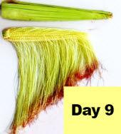 Corn ear - day 9 pollination.
