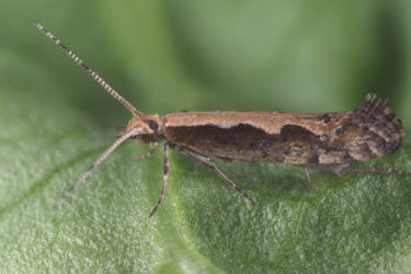 Diamondback moth on leaf.