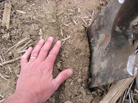 Closeup photo showing how to start digging near seed furrow.