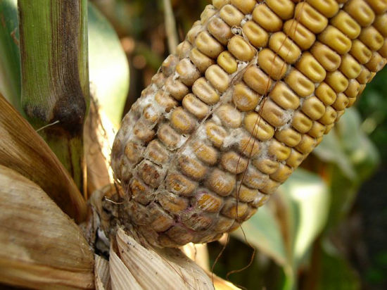 diplodia ear rot on corn