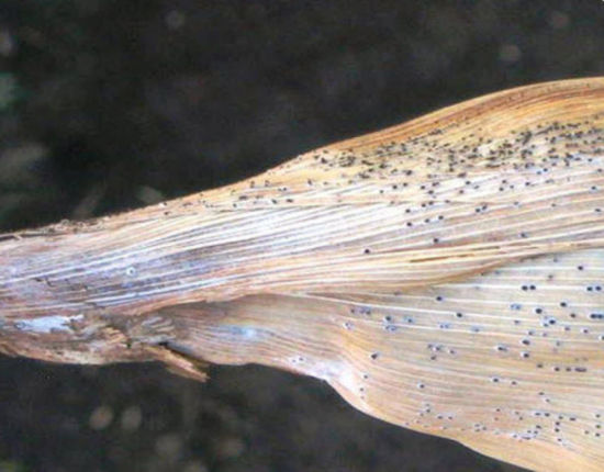 Pycnidia on corn leaf