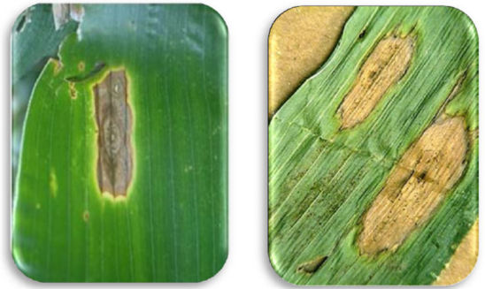 Diplodia Leaf Streak lesions on corn leaf. Diplodia leaf lesions are mostly oval to elongated and contain black pycnidia.
