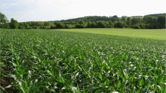 drought_stress_grain_harvest_5