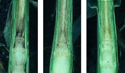 Growing points of dissected corn plants after frost at V5-V6 stage.