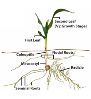 Early corn plant structures.