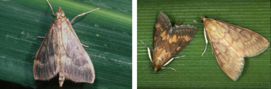 ECB moths