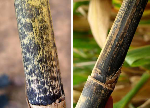 This is a photo showing external stalk discoloration caused by anthracnose.