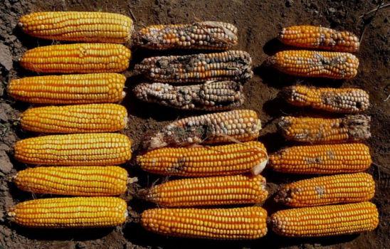 corn comparison