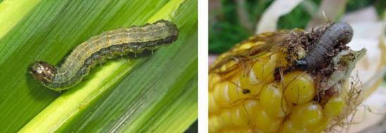 FAW larvae