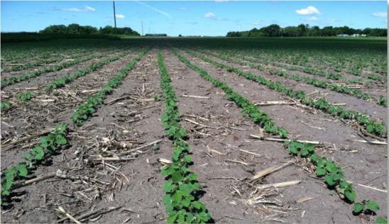 Photo: Early soybean field