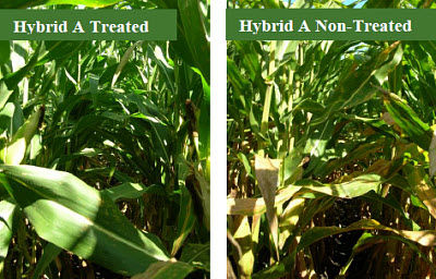 Hybrid A comparison of treated vs. non-treated with fungicide.