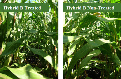 Hybrid B comparison of treated vs. non-treated with fungicide.