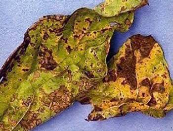 Heavily diseased soybean leaves often wilt and drop off the plant.