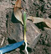 Corn seedling dissected to show growing point.