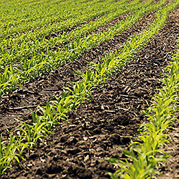 row of young corn
