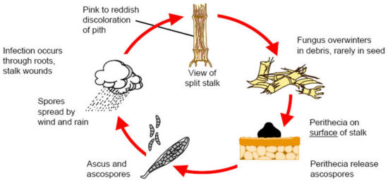 Gibberella stalk rot disease cycle