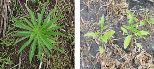 Closeup photos of horseweed and waterhemp.