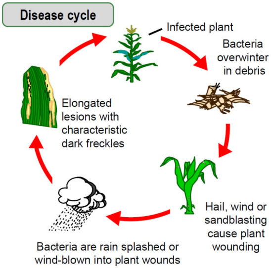 Goss's wilt disease cycle