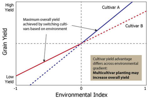 Grain yield of 2 cultivars in a hypothetical field in which the cultivars have a differential response to environmental or management variation.