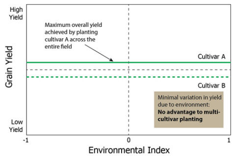 Grain yield of 2 cultivars in a hypothetical field in which there is no spatial variation in yield due to environmental conditions.