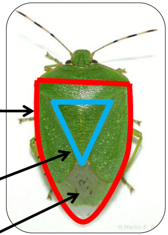 shield shape of green stink bug