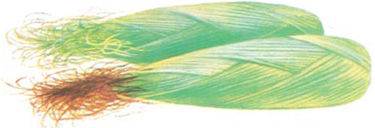 corn ear with green silks