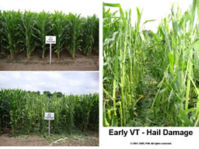 Early VT - Hail Damage