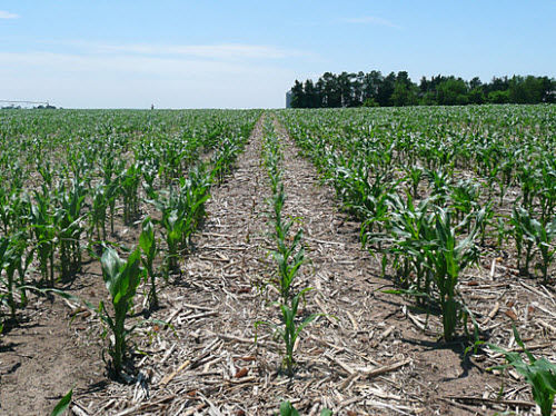 Row cleaner failure reduced stand and vigor compared to cleaned strip in corn-on-corn field.