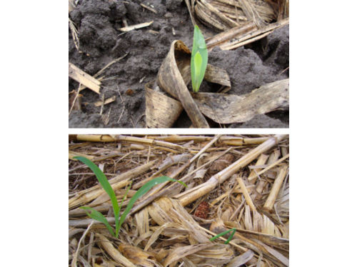 Heavy residue in corn-on-corn field provides physical barriers to seedling emergence.