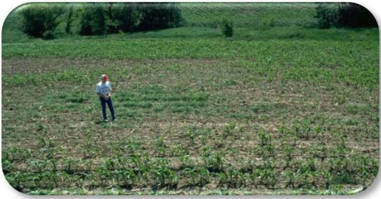 Corn stand loss in northeast Iowa due to hop vine borer.