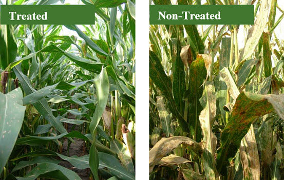 Photo showing a hybrid susceptible to common rust treated with a fungicide (left) compared to the same hybrid, non-treated, showing severe common rust (right).