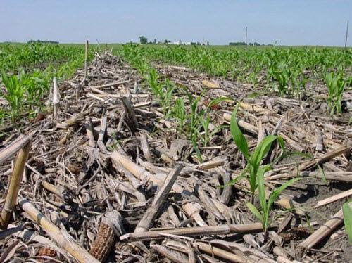 High-residue corn field