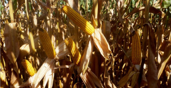 Ears in Intensive Corn Management System