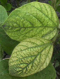 Soybean leaf - interveinal chlorosis due to iron deficiency