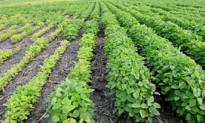 Soybean field - Varietal differences in iron deficiency chlorosis tolerance may be extreme.