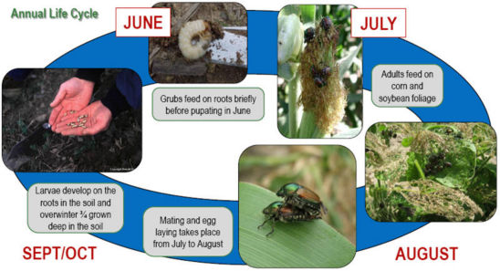 Japanese Beetle Annual life cycle